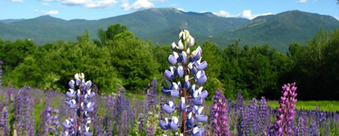 22nd Annual Lupine Festival