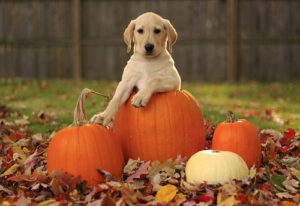 Autumn Dog w pumpkins
